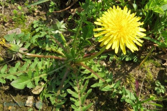 Aus einer Blattrosette wächst ein hohler Stängel, der die leuchtend gelbe Blüte trägt