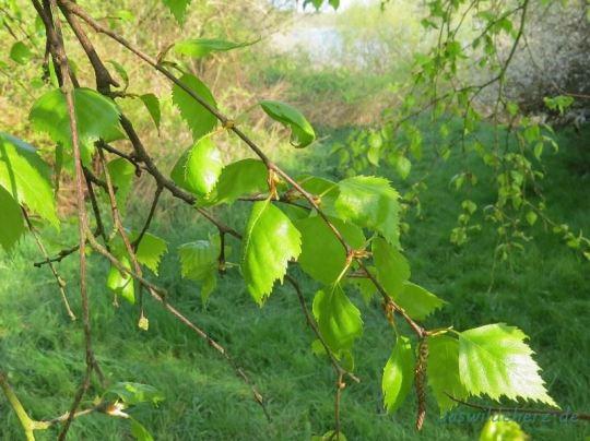 Mein neuer Detox-Tee: Birkenblätter