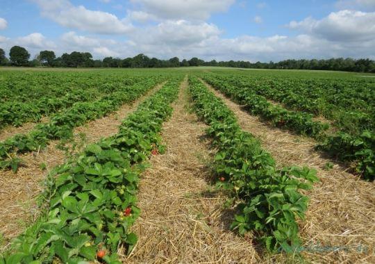Strawberry Fields Forever - raus aufs Erdbeerfeld!